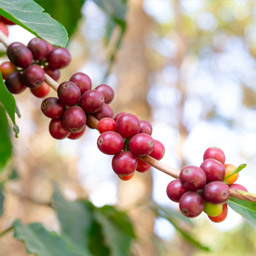 Coffee cherries growing on a vine used to make Toddy Premium 100% Arabica coffees