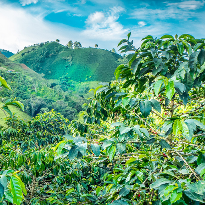 Colombian coffee plantation where coffee beans are sourced